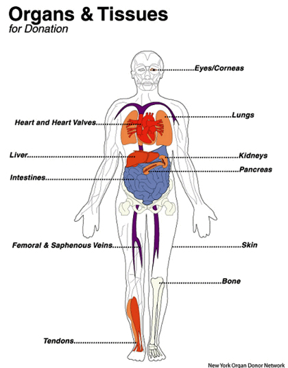 the anatomical gift act and an interest to be an organ donor Anatomy gifts registry in donor height and weight are taken into which stands for uniform anatomical gift act uaga governs organ donations for the.